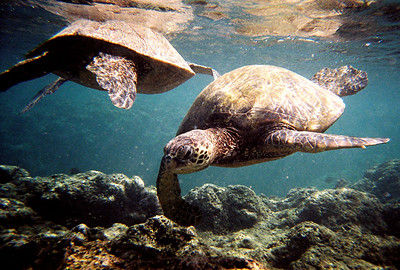 Green Sea Turtles, Hawaii