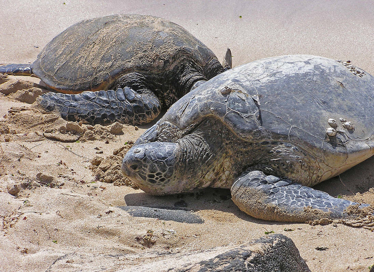 There is one beach on the North Shore of Oahu where the turtles are all along the shore in the surf and on the sand.