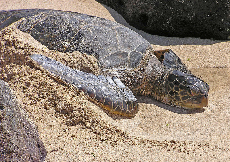 One of many green turtles just basking  in the sand.