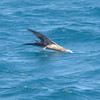 Brown Booby - fishing off of Carriacou