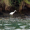 Great Blue Heron - white form - Grenada