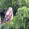 Broad-winged hawk - Grenada