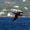Brown Booby - off Carriacou