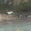 Unidentified Sandpiper - Grenada