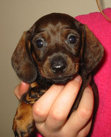 Gretl's first picture as a young pup, taken by the breeder.