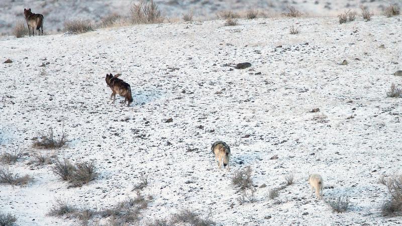 Yellowstone Wolf @ Gardiner