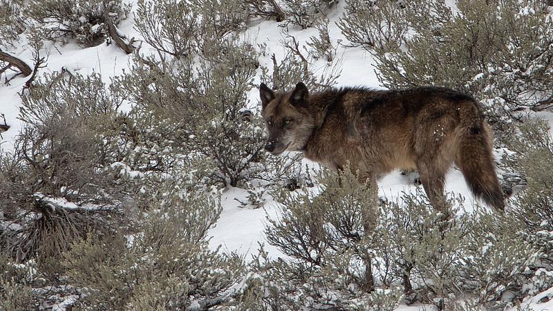 Yellowstone Wolf @ Lamar Valley