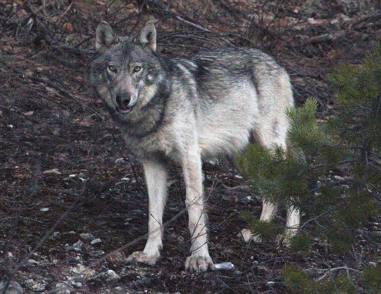 Kootenay Wolf