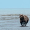 MGB-13-432: Charging Brown bear in motion blur