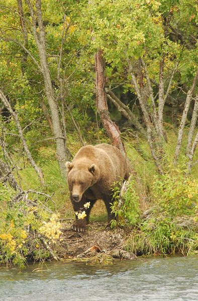 MGB-6044: Alaskan Brown Bear in early fall