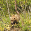 MGB-6044: Alaskan Brown Bear in early fall