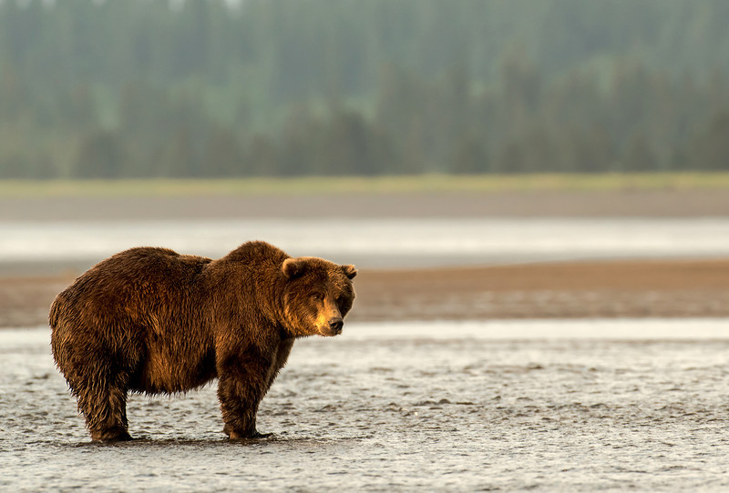 MGB-13-275: Brown Bear at Silver Salmon Creek