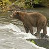 MGB-6693: Alaskan Brown Bear at Brooks Falls