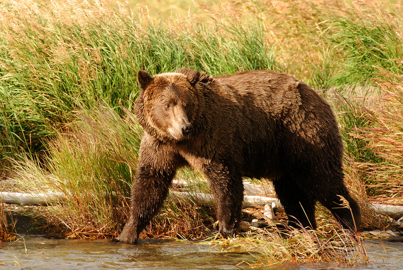 MGB-6023:This Grizzly Bear was walking along the shore of Brooks River, but still keeping an eye on a very large male that was in the river searching for salmon.