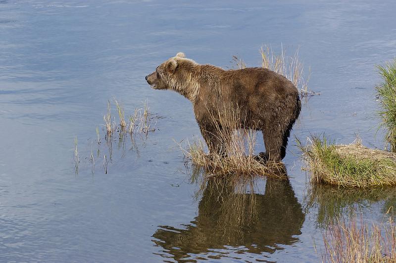 MGB-6555: Alaskan Brown Bear