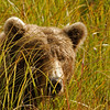 MGB-6104: Brown Bear peeking through grass reeds