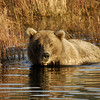 MGB-6630: Brown Bear in Brooks River