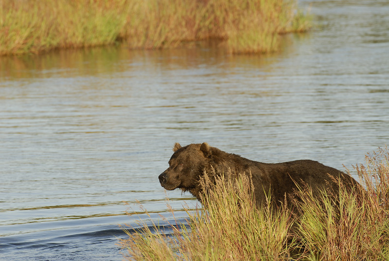MGB-6158: Brown bear at the mouth of Brooks River