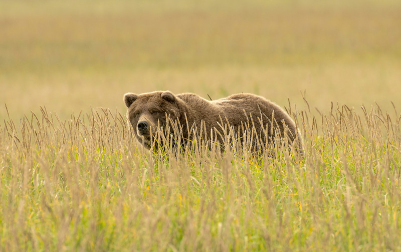 MGB-13-403: Brown Bear in Sedge Meadow