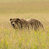 MGB-13-403: Brown Bear in Sedge Meadow