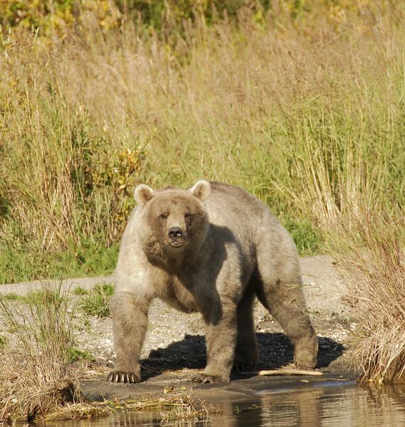 MGB-6461: Blond phase Brown Bear