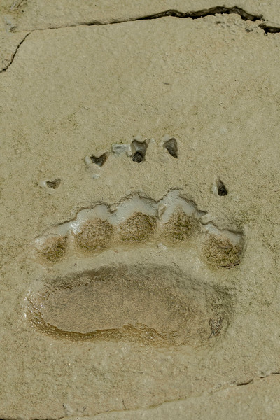 Front paw print