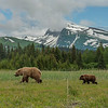Brown bears heading into the forest