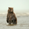 MGB-13-91: Standing Brown Bear at Cook Inlet