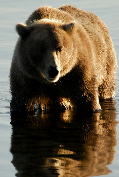 MGB-6469:Grizzly reflection