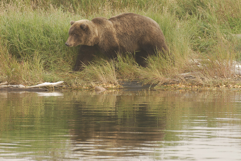 MGB-6478: Brown Bear on shores of Brooks River