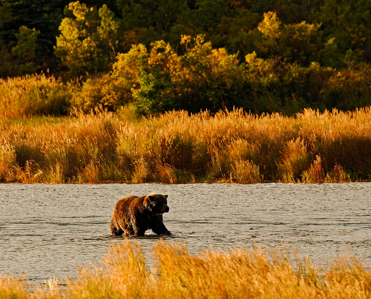 MGB-6111:Male Grizzly on Brooks river at sunset