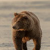 MGB-13-269: Brown Bear on the beach