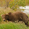 MGB-6089:This bear was laying down in the tall grass taking an afternoon nap and none of us knew that he was there until he gets up and checks these photographers over.