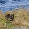 MGB-6334: Brown Bear in tall grass