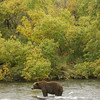 MGN-6724: Brown Bear fishing on Brooks River