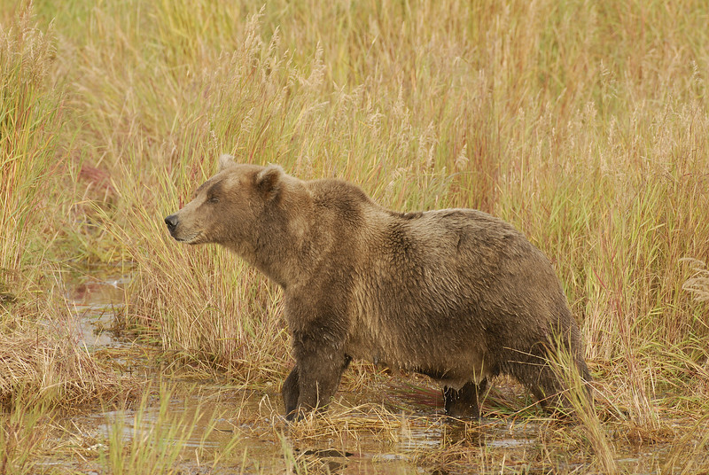 MGB-6473: Alert Brown Bear