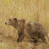 MGB-6473: Alert Brown Bear