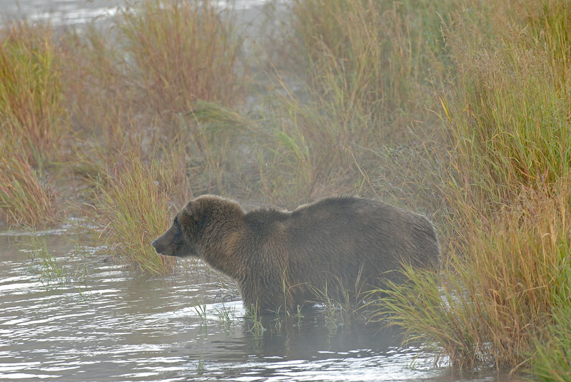 MGB-6374: Alaskan Brown Bear at Brooks River
