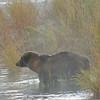 MGB-6374: Alaskan Brown Bear at Brooks River