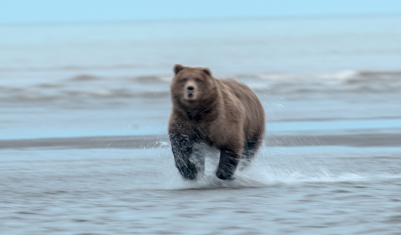 MGB-13-437: Brown Bear in motion