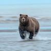 MGB-13-437: Brown Bear in motion