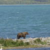 MGB-6218: Lone Brown Bear at Naknek Lake