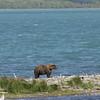 MGB-6218: Lone Brown Bear at Naknek Lake