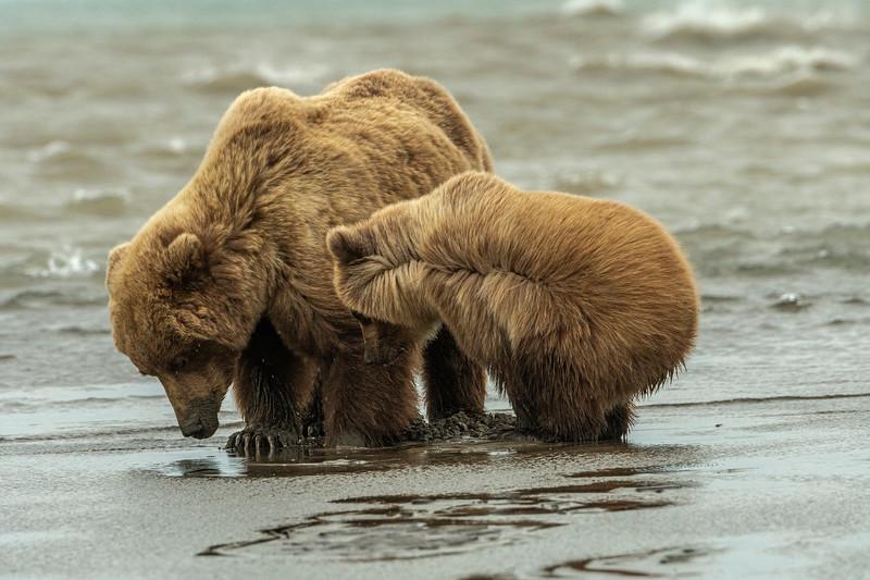Clamming bears