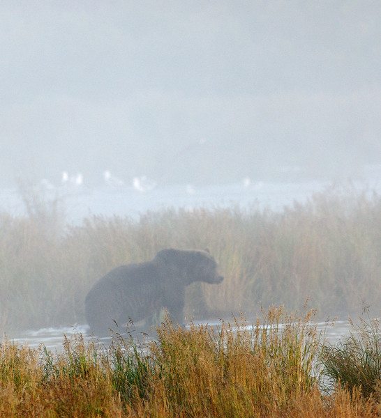 MGB-6386: Misty morning Brown Bear