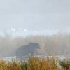 MGB-6386: Misty morning Brown Bear
