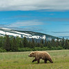 Brown Bear in its environment