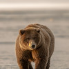 MGB-13-267: Alaskan Brown Bear
