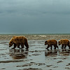 Brown Bear family on the mud flats