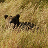 MGB-6752: Peeking over the grass